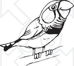 Clipart Cute Black And White Perched Zebra Finch - Royalty ...
